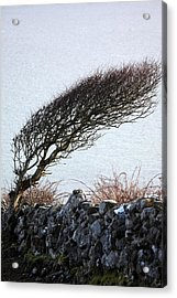Clare Coast Tree Acrylic Print by Tom  Doherty