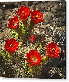 Claret Cup 7 Acrylic Print