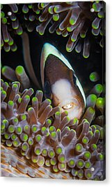 Clarks Anemone Fish Acrylic Print