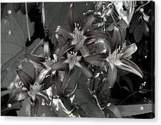 Classic Daylily Acrylic Print