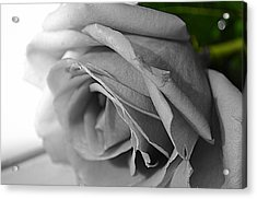 Acrylic Print featuring the photograph Classic White Rose by Richard Ricci