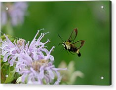 Clearwing Moth Acrylic Print