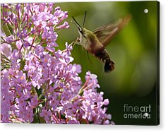 Clearwing Pink Acrylic Print
