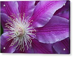 Clematis 101 Acrylic Print by William Thomas