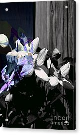 Clematis 2 Shades Of Grey Acrylic Print
