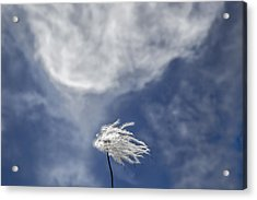Clematis And Clouds Acrylic Print