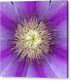 Clematis Acrylic Print by Christopher Gruver