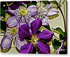 Purple Clematis Flower Vines Acrylic Print by Carol F Austin