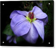 Clematis Acrylic Print by Jessica Jenney