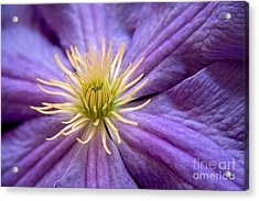 Clematis Acrylic Print by Julia Hiebaum