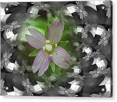 Clematis Acrylic Print by Keith Elliott