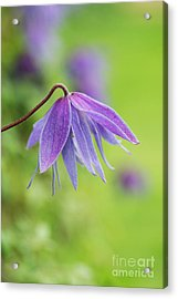 Acrylic Print featuring the photograph Clematis Lagoon Flower by Tim Gainey