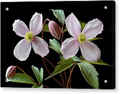 Acrylic Print featuring the photograph Clematis Montana Rubens by Terence Davis