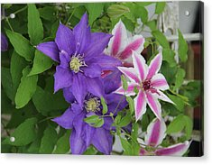 Clematis Purple And Pink White Acrylic Print