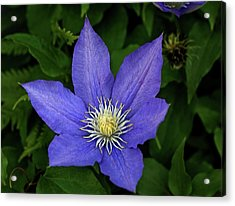 Clematis Acrylic Print by Sandy Keeton