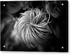 Clematis Seed Head In Black And White Acrylic Print