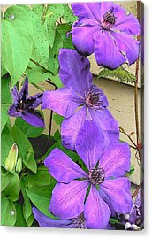 Clematis Trail Acrylic Print by Vijay Sharon Govender