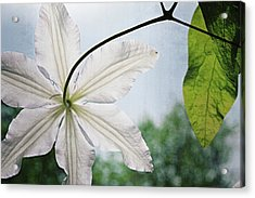 Acrylic Print featuring the photograph Clematis Vine And Leaves by Michelle Calkins
