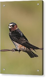 Acrylic Print featuring the photograph Cliff Swallow by Gary Lengyel