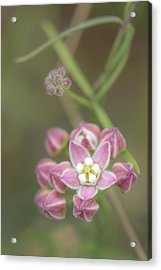 Acrylic Print featuring the photograph Climbing Milkweed by Alexander Kunz