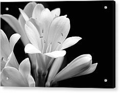 Clivia Flowers Black And White Acrylic Print