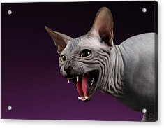 Close-up Aggressive Sphynx Cat Hisses On Purple Acrylic Print