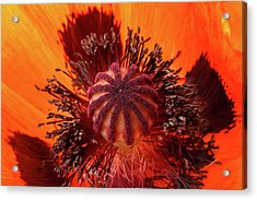 Close-up Bud Of A Red Poppy Flower Acrylic Print