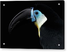 Close-up Channel-billed Toucan, Ramphastos Vitellinus, Isolated On Black Acrylic Print by Sergey Taran