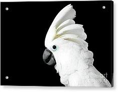 Close-up Crested Cockatoo Alba, Umbrella, Indonesia, Isolated On Black Background Acrylic Print by Sergey Taran