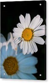 Close Up Daisy Acrylic Print by Nathan Wright