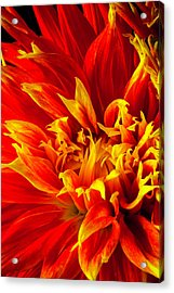 Close Up Flaming Dahlia Acrylic Print