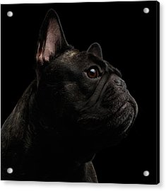 Close-up French Bulldog Dog Like Monster In Profile View Isolated Acrylic Print