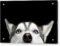 Close-up Head Of Peeking Siberian Husky Acrylic Print