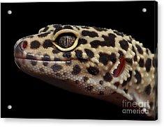 Close-up Leopard Gecko Eublepharis Macularius Isolated On Black Background Acrylic Print