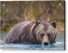 Close Up Of A Coastal Brown Bear  Ursus Acrylic Print