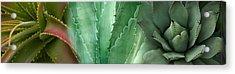 Close-up Of Aloe Vera Plants Acrylic Print