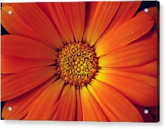 Close Up Of An Orange Daisy Acrylic Print by PIXELS  XPOSED Ralph A Ledergerber Photography
