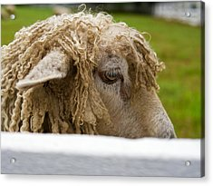 Close-up Of Leicester Longwool Acrylic Print