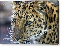 Close Up Of Leopard Acrylic Print