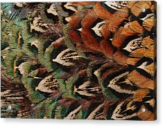 Close Up Of Pheasant Feathers Acrylic Print by Darlyne A. Murawski