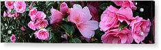 Close-up Of Pink Camellia Flowers Acrylic Print by Panoramic Images