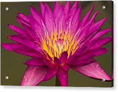 Close Up Of Pink Water Lily Acrylic Print by Tosporn Preede
