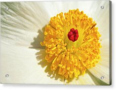 Close Up Of Prickly Poppy Acrylic Print by Mark Weaver