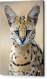 Close-up Of Serval Leptailurus Serval Acrylic Print