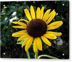 Close Up Of Sunflower Acrylic Print