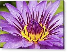 Close Up Of Violet Water Lily Acrylic Print by Tosporn Preede