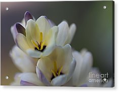 Close-up Of White Freesia Acrylic Print