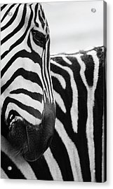 Close-up Of Zebra Face And Shoulder Acrylic Print by George Jones