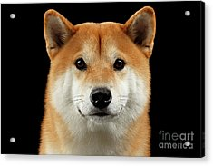 Close-up Portrait Of Head Shiba Inu Dog, Isolated Black Background Acrylic Print by Sergey Taran