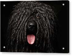 Close Up Portrait Of Puli Dog Isolated On Black Acrylic Print